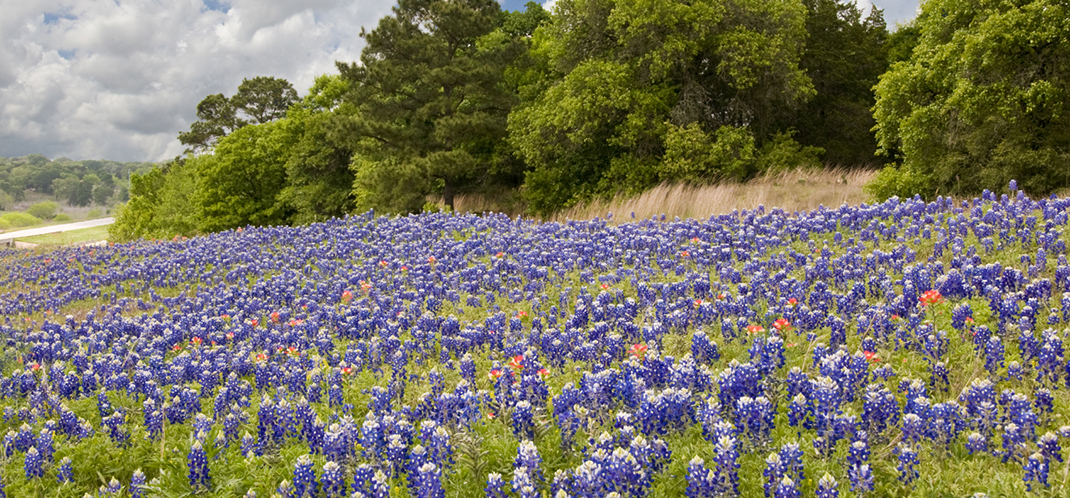 2017 WILDFLOWER CROP EXPECTED TO BLANKET BRAZOS BASIN